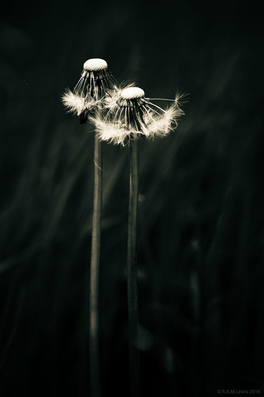 dandelion 2.jpg