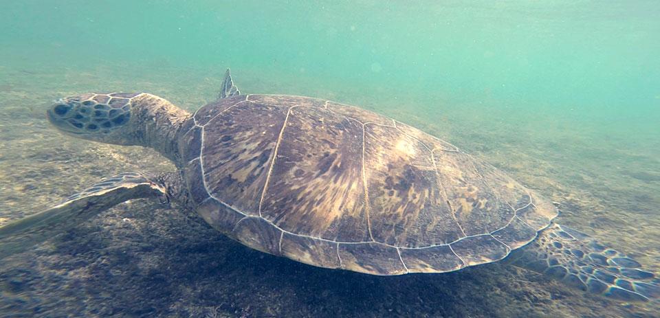 Tartaruga-de-pente adulta, na Baía do Sueste