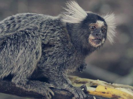 Macaco, aos cuidados doParque Nacional da Serra da Bocaína.