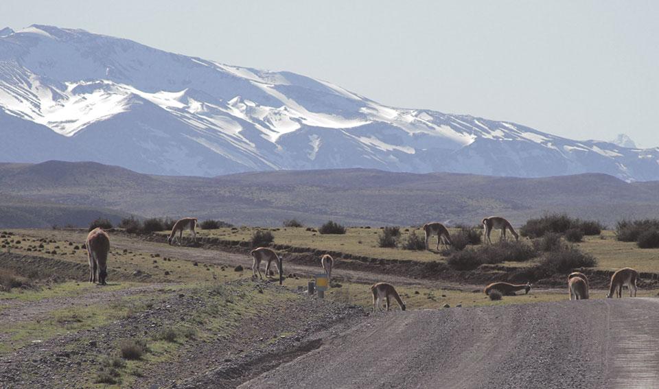 Guanacos transitando pela pista Y-150, dentro do Parque Nacional Torres del Paine.