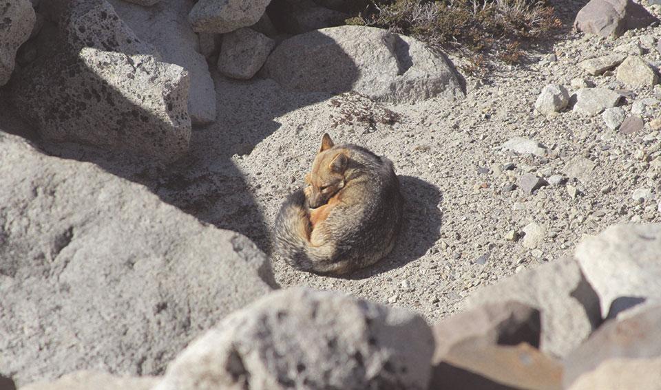 Raposa Vermelha que encontramos durante a subida para a Base de las Torres