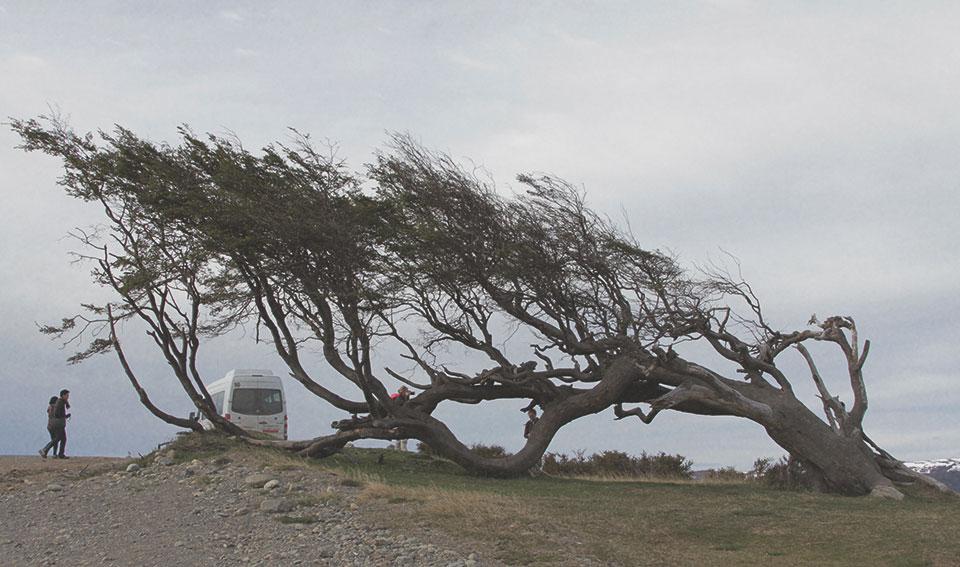 Árvore-bandeira de 300 anos de idade. Elas crescem para a lateral devido aos fortes e constantes ventos da região.