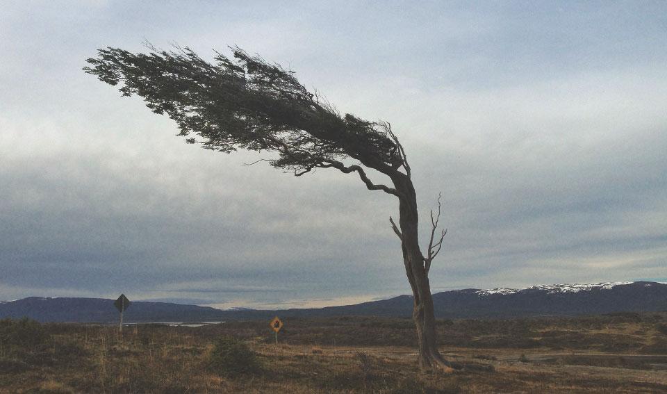 Árvore-bandeira que cresce para a lateral devido  aos fortes e constantes ventos da região.