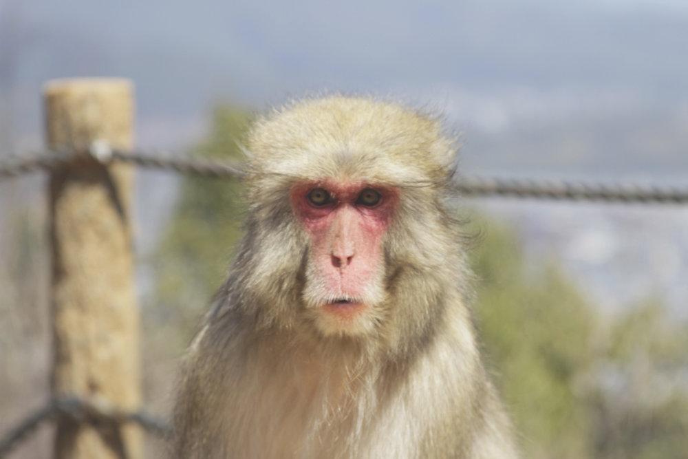 macaco kyoto.jpg