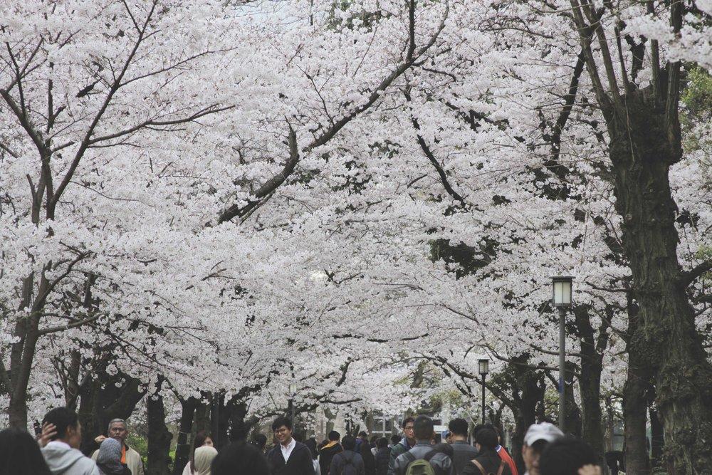 Árvores de Sakuras (cerejeiras)tomando conta de toda a paisagem do jardim do castelo.