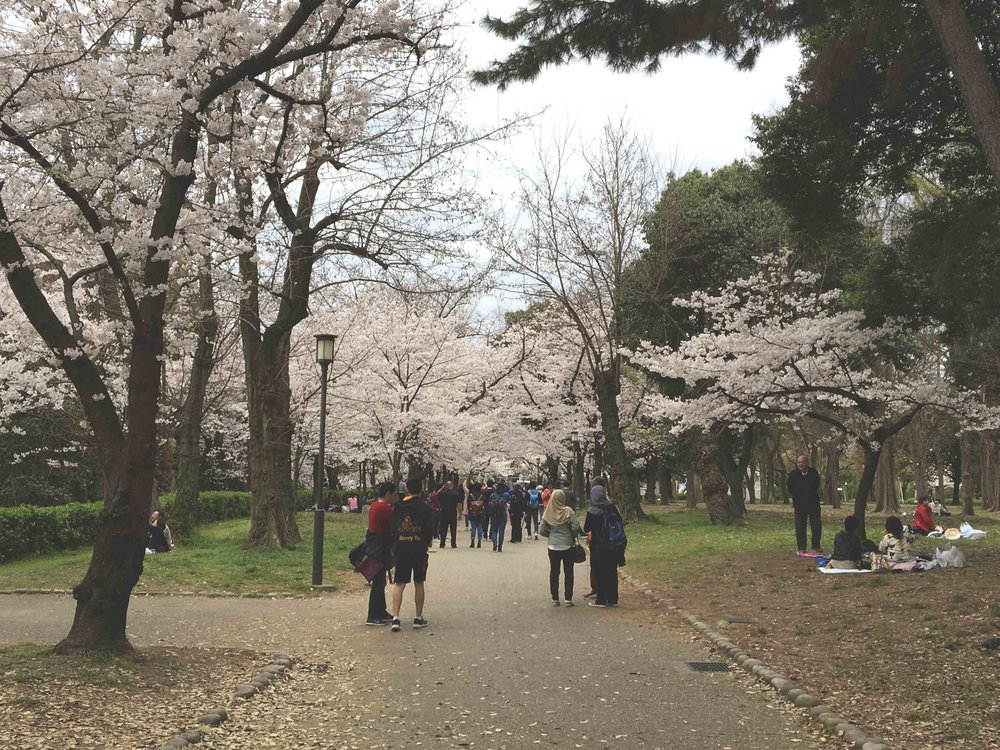 O hábito de fazer piqueniques embaixo das árvores de Sakuras é uma tradição no Japão.