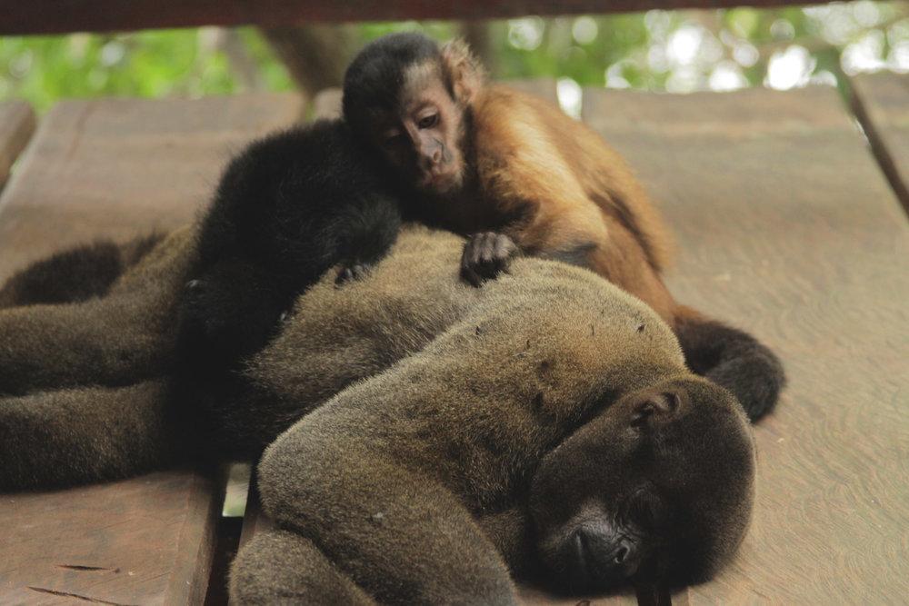 floresta_juma_macacos.jpg
