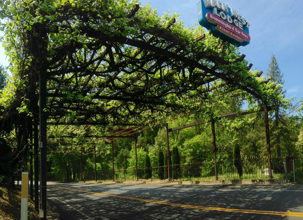 Grapevines wrapping the arbor that spans the Mark West Springs Road width