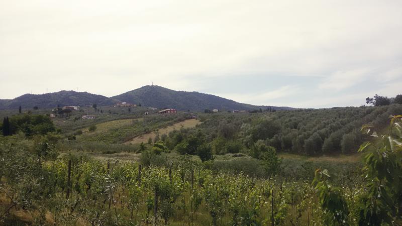 Tuscany hills, Vineyards and Olive Trees  -Quarrata, Italy
