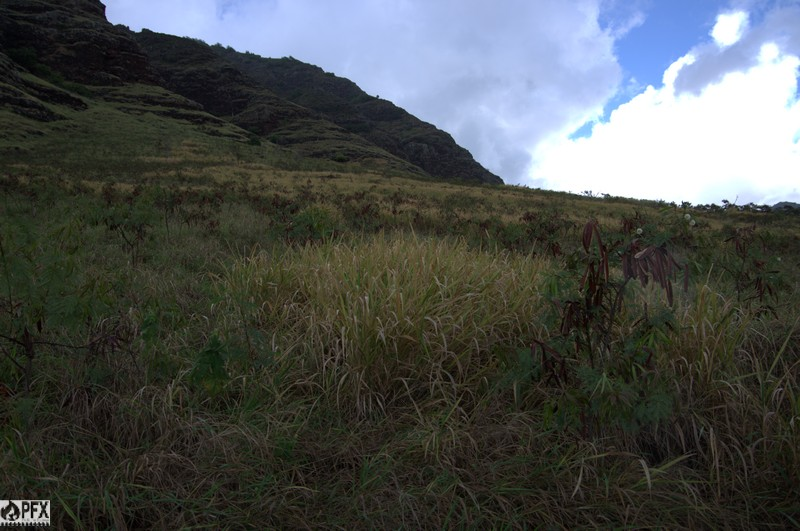 Nonnative Guinea grass, California grass, and haole koa create very fire-prone vegetation in lower Makaha Valley.