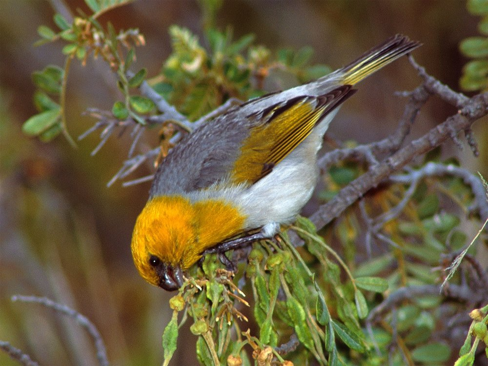 A Palila eating mamane. By Photographer: Jack Jeffrey, USGS [Public domain], via Wikimedia Commons