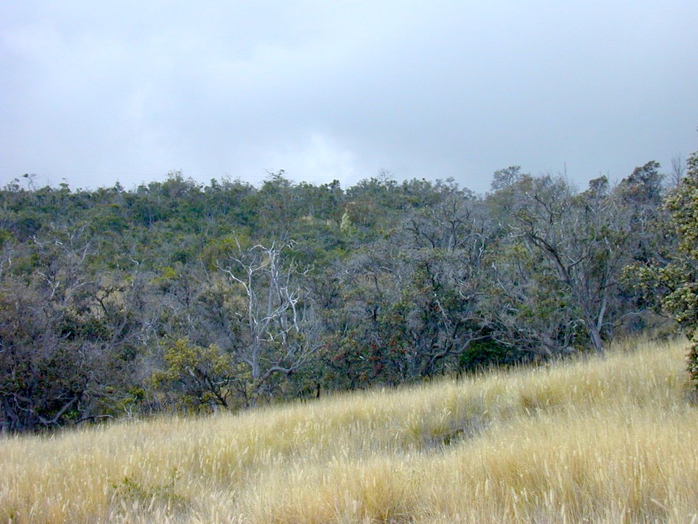 At the transition from invasive-dominated grassland in the foreground to high-value dry forest in the background. Photo: Susan Cordell