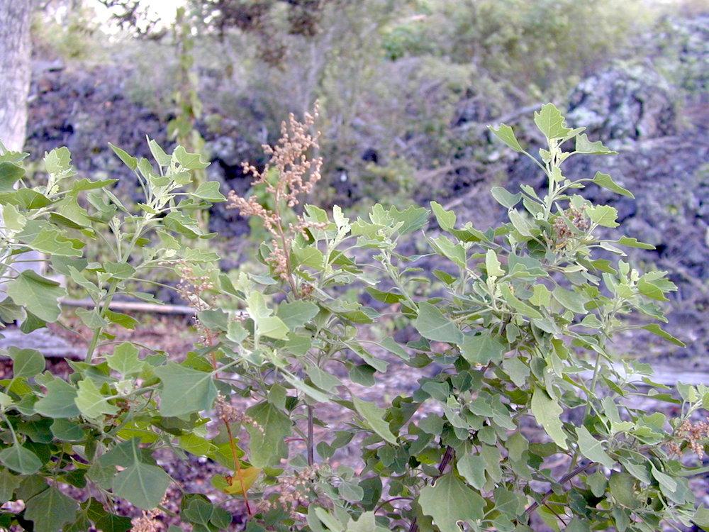 Aweoweo ( Chenopodium oahuense ). Photo: Susan Cordell