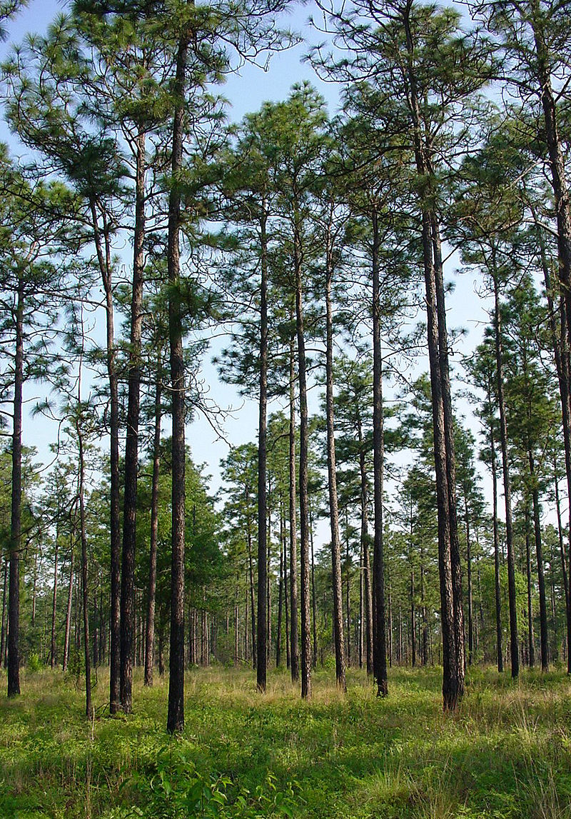 Longleaf pine forest. Photo: Chuck Bargeron, University of Georgia.