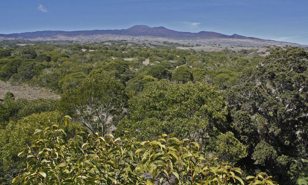 Hakalau Forest National Wildlife Refuge was established in 1985 to protect and manage endangered Hawaiian forest birds and their rain forest habitat. This image shows a koa planting area within Hakalau. Photo: Jack Jeffrey.