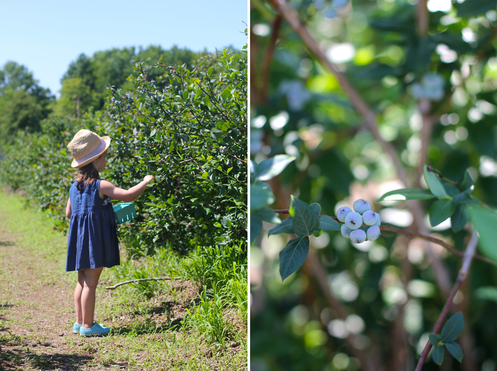 It was no surprise that the kids loved being on a farm, but who knew picking fruit in the hot sun would be so fun? Both Alice and Everett were so engaged, so focused, and so earnest, doing their best to identify  just  the right blueberries, pluck them, and plop them in their containers.