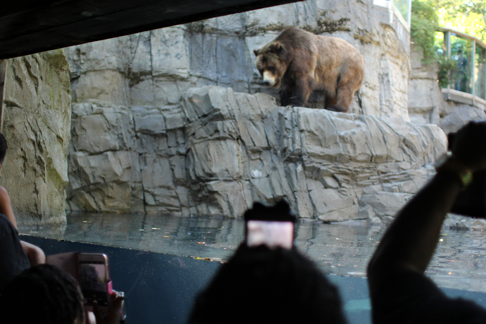 The bears at the zoo really stole my heart this time! This was my first time seeing Betty and Veronica, and they are unbelievable. At one point they both jumped into the water wrestling and playing. The only thing more amazing than a giant, fluffy bear claw paddling underwater is 8 of them.