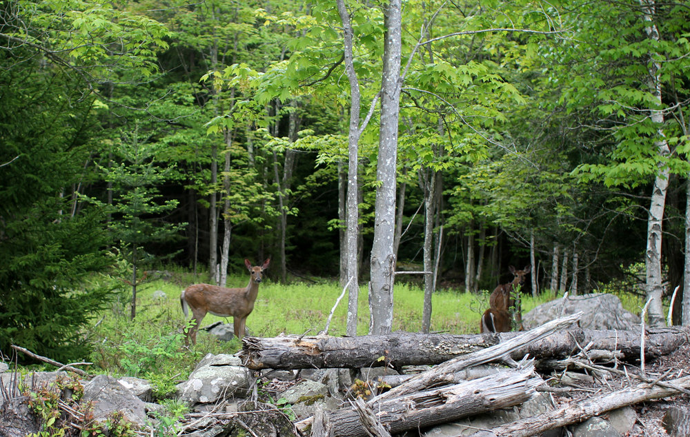 Deer everywhere! We think this trio is the same family that we see on the same stretch of road.