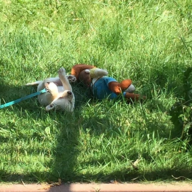 Puppy life #corgimixesofinstagram #puppies #theadventuresofmrScrumpy #vermontlife