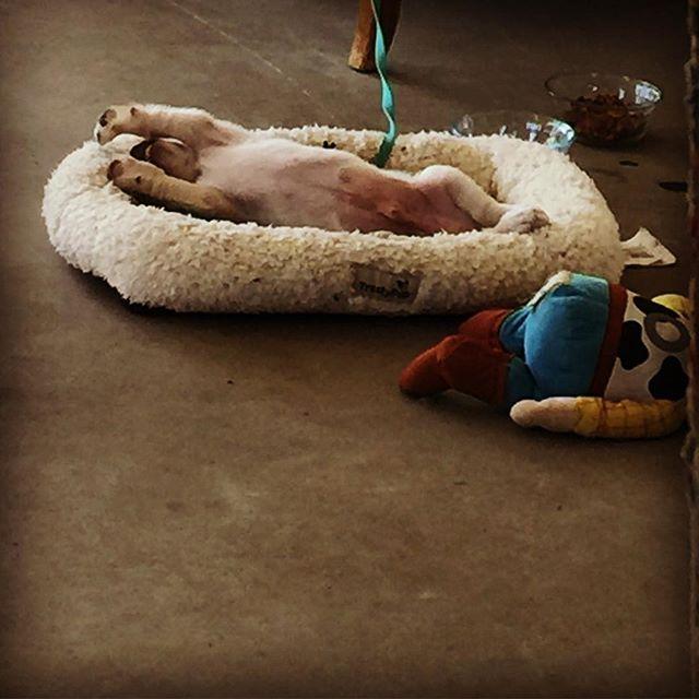 Eat, sleep, play, repeat. #puppylove #vermontlife #corgimixesofinstagram
