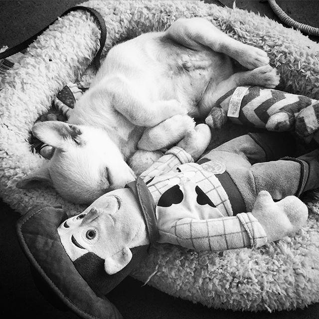 Sweetest puppy ever. #vermontlife #corgimix #corgimixesofinstagram #puppylove #theadventuresofmrScrumpy
