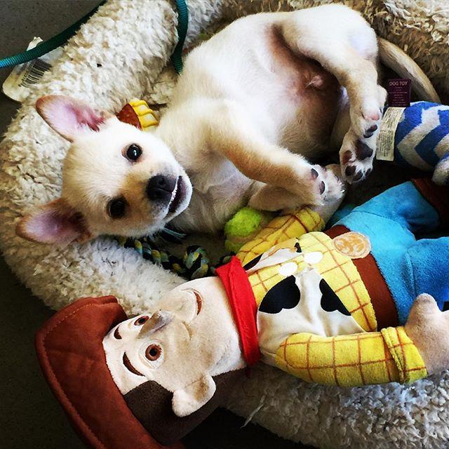 Mr Scrumpy decided to flash me a smile before he fell to sleep. #theadventuresofmrScrumpy #puppylove #corgimixesofinstagram #corgimix #vermontlife