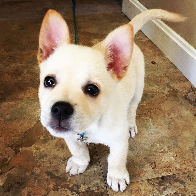 Those big ears and little legs. ❤️ #corgiemix #corgiemixesofinstagram #vermontlife