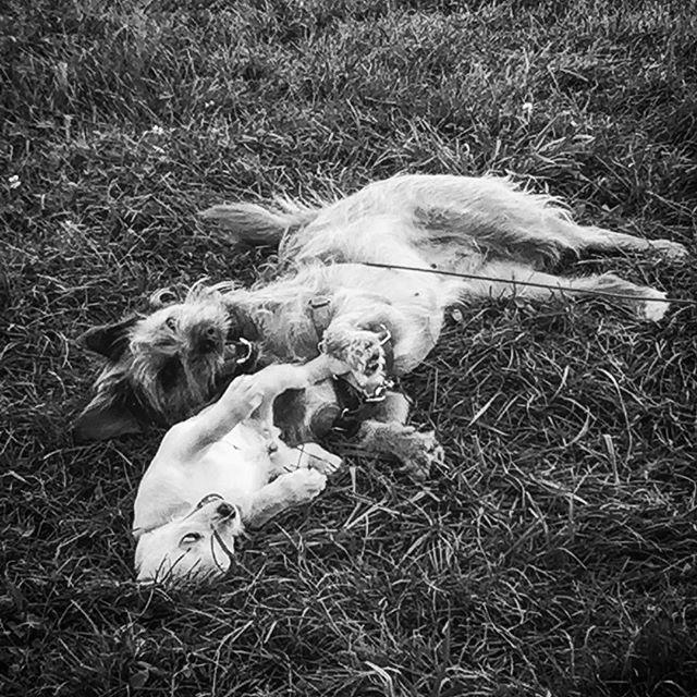 Becoming bonded. #puppylove #vermontlife #corgimixesofinstagram #Scrumpy #bestdogsever