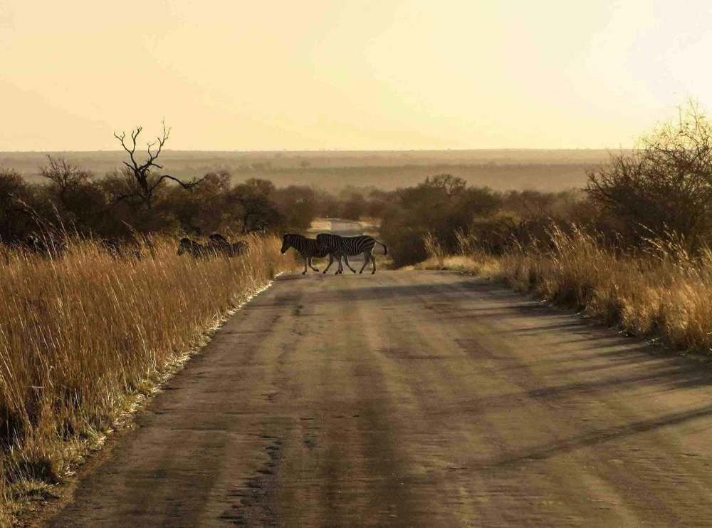 Klaserie-Reserve-South-Africa-Zebras