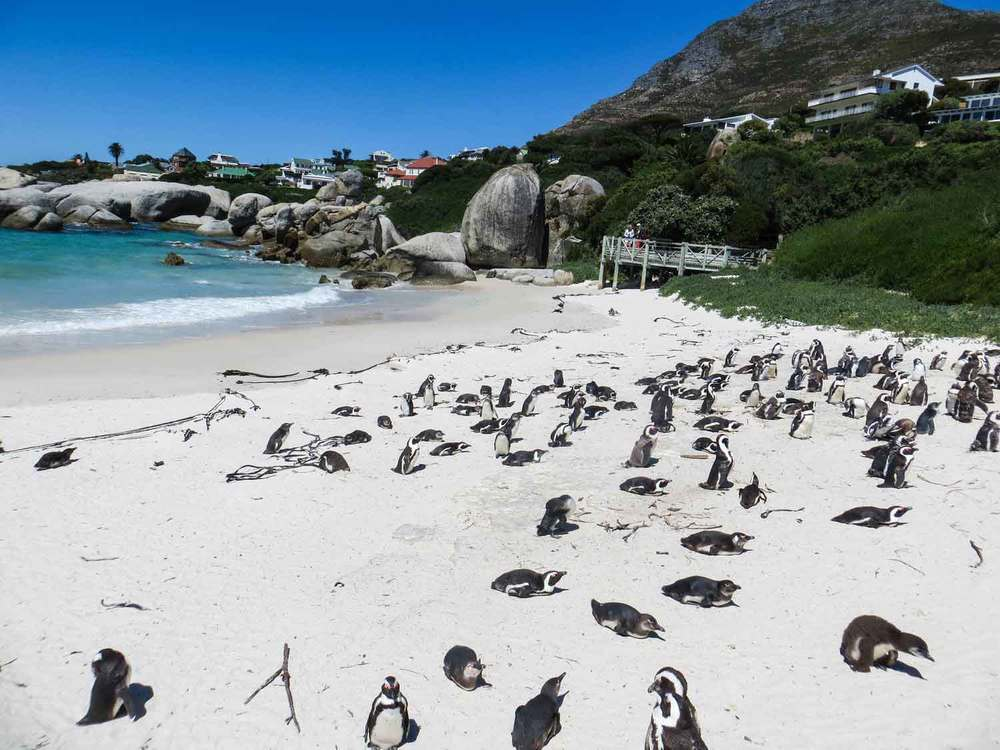 Jackass Penguins Boulders Beach