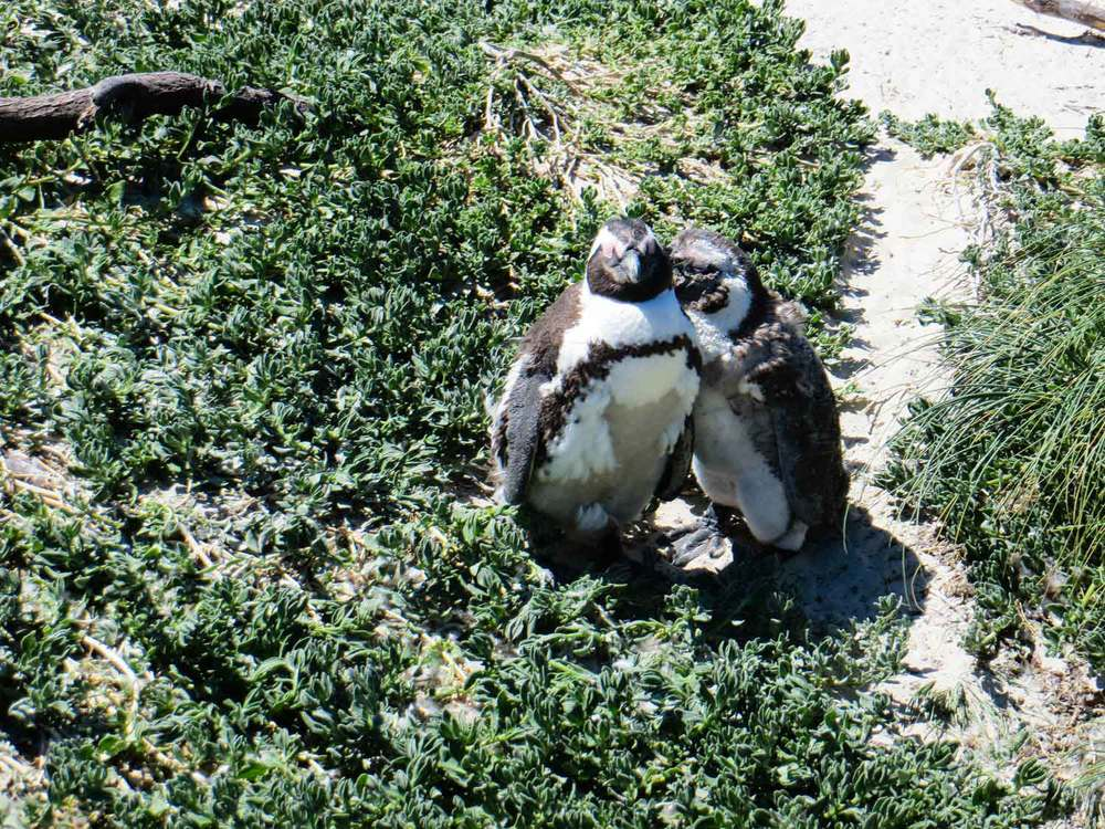 Penguins at Boulders Beach Cape Town