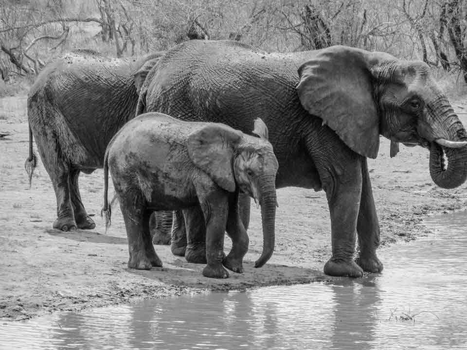 2014: Elephants cooling down by the watering hole at Gomo Gomo Game Lodge in Greater Kruger National Park, South Africa.