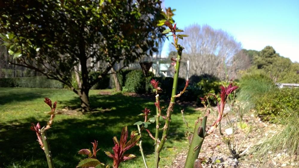 Roses Spring 1024x573.jpg