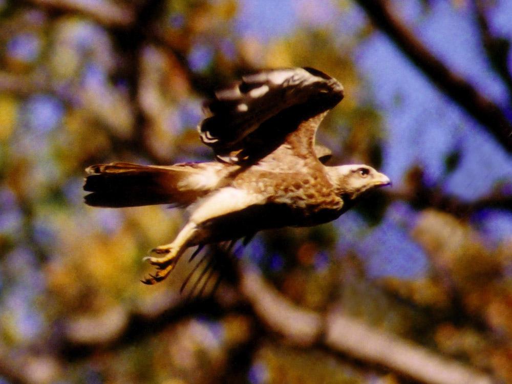 003 oriental honey buzzard.jpg
