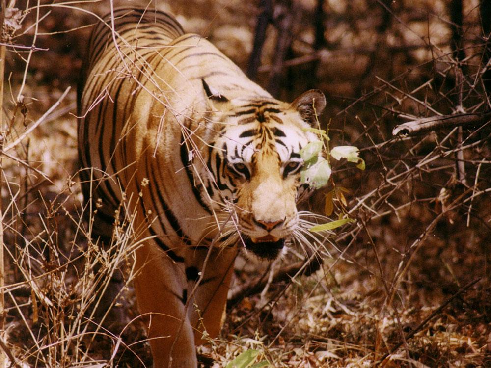 004 tiger walking through branches.jpg