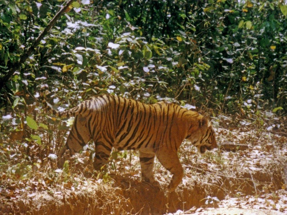017 tiger - big male entering road.jpg
