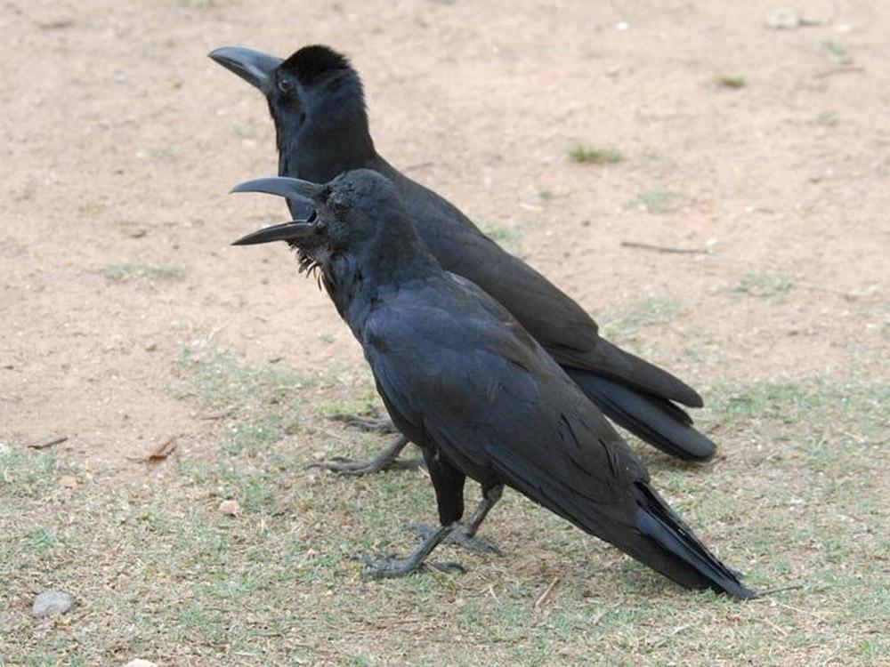 021 jungle crows.jpg