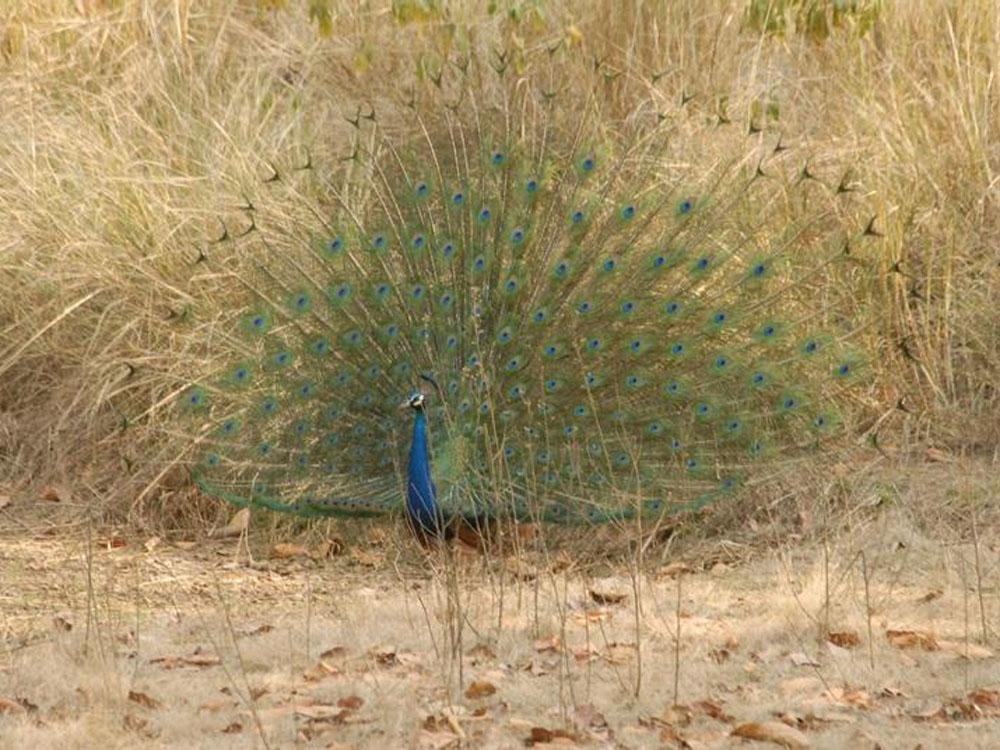 023 peacock.jpg