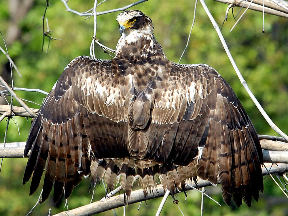 025 serpent eagle.jpg