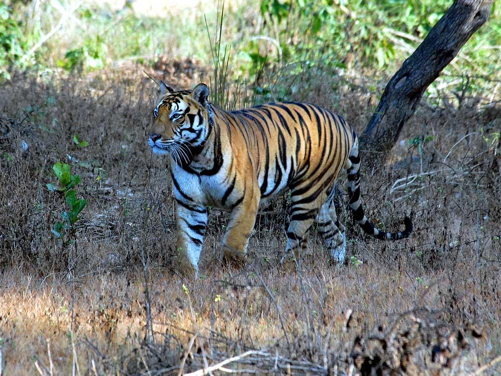 031 tiger.jpg
