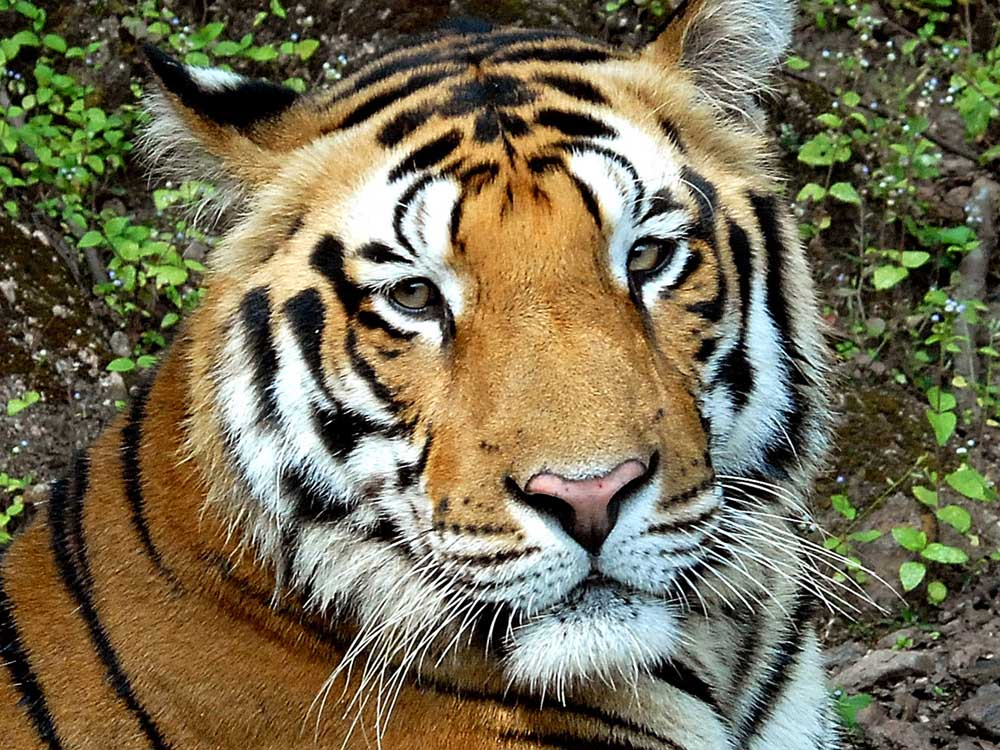 033 tiger portrait.jpg