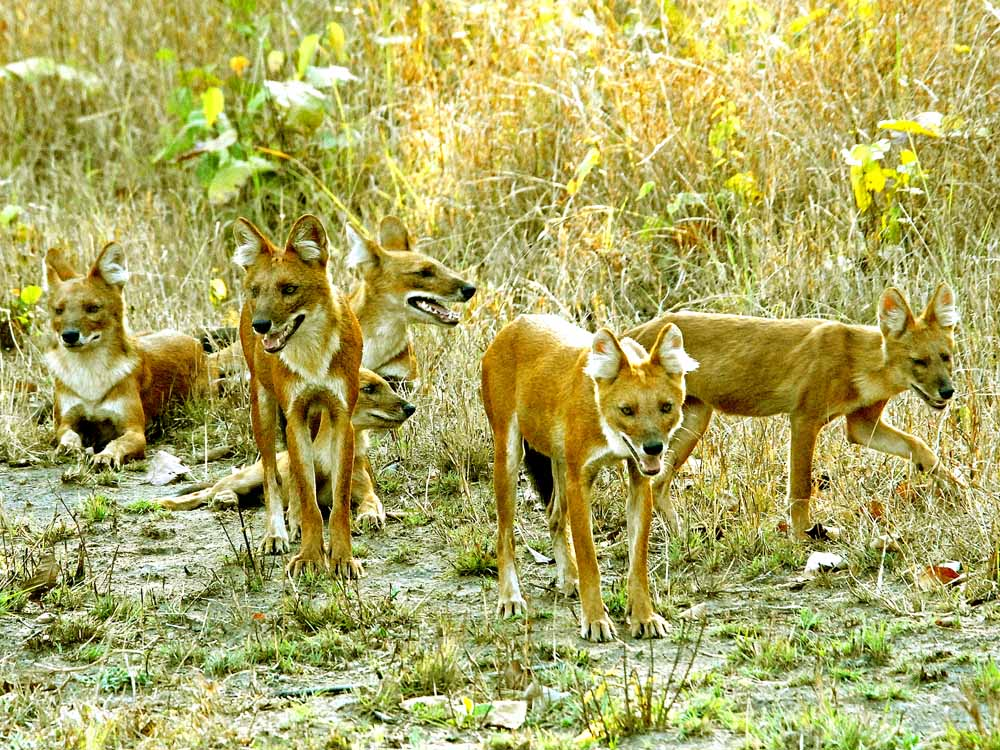 036 wild dogs.jpg