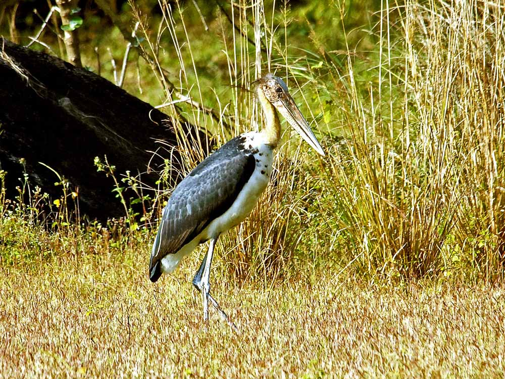 044 lesser adjutant stork.jpg