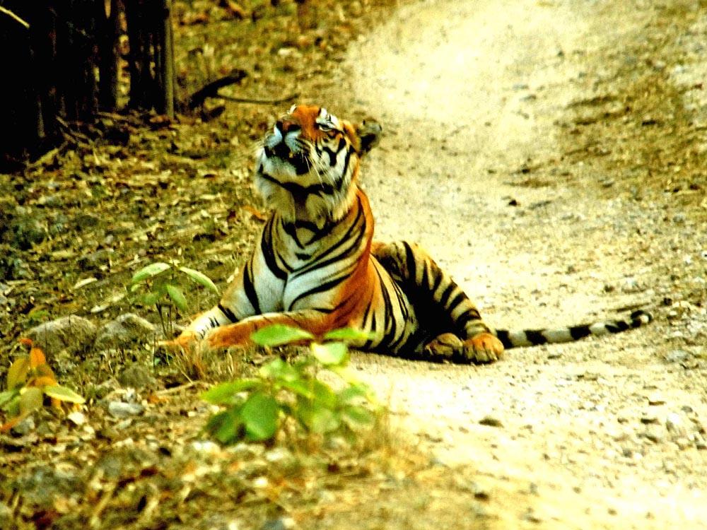 050 male tiger flehming.jpg