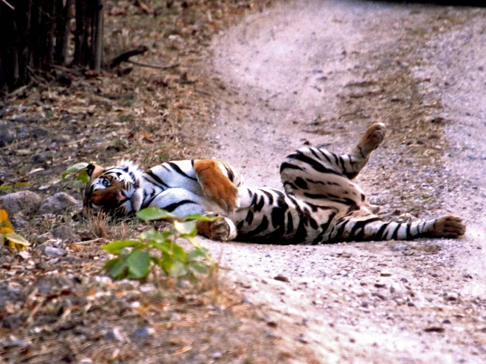 052 tiger mud bath.jpg