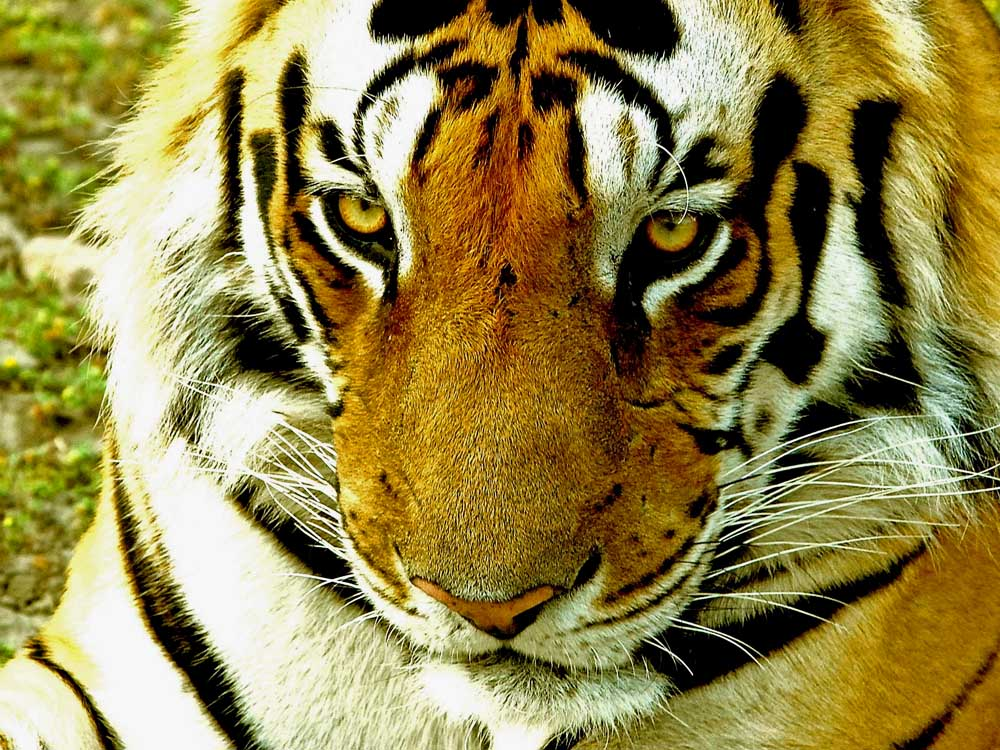 054 tiger.jpg