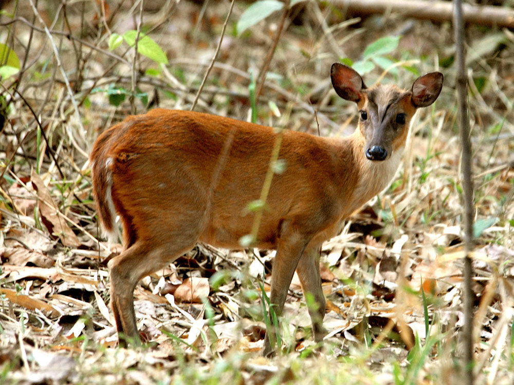 055 barking deer juvenile.jpg