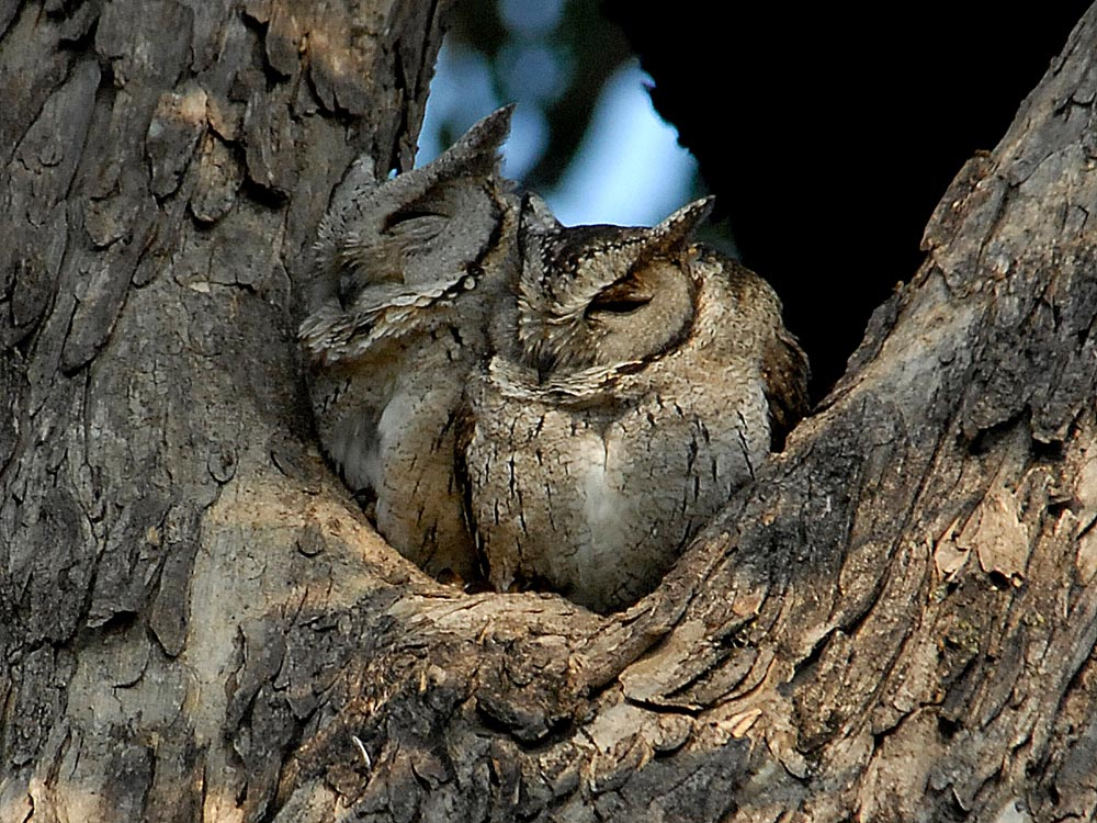 018 collared skops owls.jpg