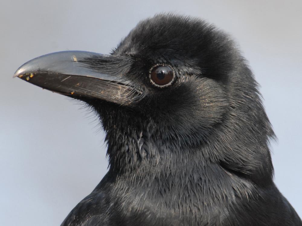 029 jungle crow.jpg