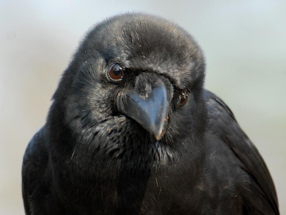 030 jungle crow.jpg